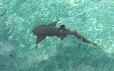 nurseshark1.jpg